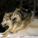 Grey Wolves Running Through Deep Snow