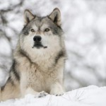 Timber Wolf (Canis Lupus) in Forest