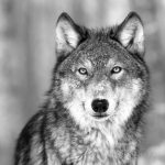 Wolf Black & white