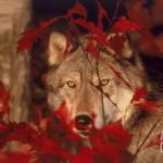 Un loup gris