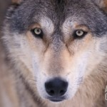 Loups Gray Wolf in the Foothills of the Takshanuk Mountains, Alaska,